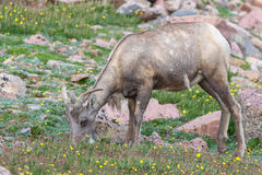 Bighorn Sheep. This is a picture of some Bighorn Sheep play on some rocks stock photo