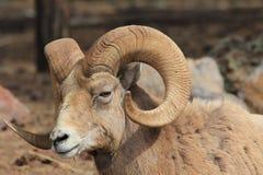 Bighorn sheep portrait Stock Photo