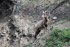 Bighorn Sheep posed. Bighorn Sheep standing on rugged mountain terrain stock photos