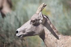 Bighorn Sheep Potrait Royalty Free Stock Images