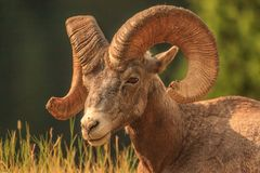 Bighorn Sheep with large horns profile stock image