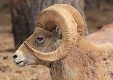 Bighorn sheep in profile, Stock Image
