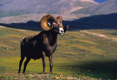 Bighorn Sheep Ram. A full curl bighorn sheep above timberline Royalty Free Stock Images