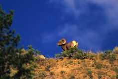 Bighorn Sheep Ram. A bighorn sheep ram on a ridge with blue sky background Stock Photos