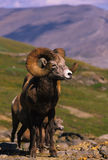 Bighorn Sheep Ram. A full curl bighorn sheep standing above timberline Royalty Free Stock Images