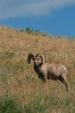 Bighorn sheep ram Stock Images