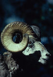 Bighorn Sheep Ram. A portrait of a bighorn sheep ram Royalty Free Stock Image