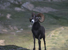 Bighorn sheep ram Stock Photography