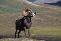 Bighorn sheep ram. In Canadian Rockies Stock Image