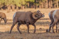 Bighorn Sheep Ram in Rut Royalty Free Stock Photos