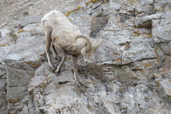 Bighorn Sheep ram on cliff Royalty Free Stock Photo