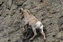 Bighorn Sheep Ram climbing rock face cliff in Yellowstone National Park in Wyoming Royalty Free Stock Image
