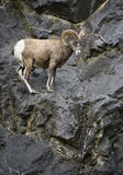 Bighorn Sheep ram Royalty Free Stock Photos