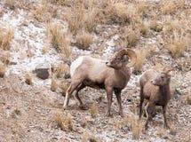 Bighorn Sheep Ram and Ewe Royalty Free Stock Photos