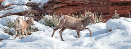 Bighorn Sheep ram and ewe ovis canadensis on sunny winter day in Zion National Park in Utah USA. Bighorn Sheep ram and ewe ovis canadensis on sunny winter day in royalty free stock photo