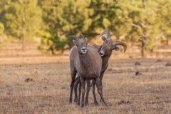 Bighorn Sheep Ram and Ewe in Rut Royalty Free Stock Image