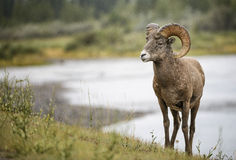 Bighorn Sheep ram. A bighorn sheep ram with full curl poses in front of the Athabasca river in Jasper national park, Canada Royalty Free Stock Photo