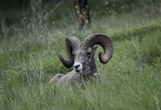 Bighorn Sheep ram. A bighorn sheep ram with full curl relaxes after eating, in the Canadian Rocky Mountains Royalty Free Stock Photos