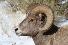 Bighorn sheep ram in Grand Teton National Park Winter. Bighorn sheep ram in Grand Teton Naitonal Park in winter.  National Elk Refuge Royalty Free Stock Photography