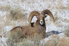 Bighorn sheep ram in Grand Teton National Park Winter. Bighorn sheep ram in Grand Teton Naitonal Park in winter.  National Elk Refuge Stock Photos