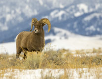 Bighorn sheep ram  in grass meadow with mountains in background Royalty Free Stock Photo