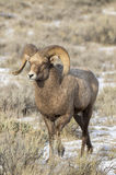 Bighorn sheep ram in the grass and sagebrush with snow on ground Stock Photos