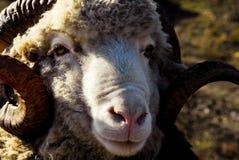 Bighorn sheep ram Royalty Free Stock Images