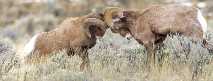 Bighorn Sheep Ram. Head Contact Between Two Large Rocky Mountain Bighorn Rams Battling For Dominance royalty free stock photography