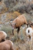 Bighorn Sheep Ram Herding Ewes Stock Photography