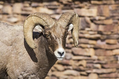Bighorn sheep ram horns rock wall background Stock Photos