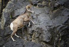Bighorn Sheep ram jumping. A bighorn sheep jumps on a rocky mountain cliff, in Kananaskis country, Canada Stock Images