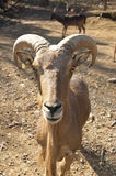 A bighorn sheep ram is making eye contact. Royalty Free Stock Images