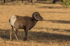 Bighorn Sheep Ram in a Meadow. A rocky mountain bighorn sheep ram in a meadow Stock Photography