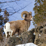 Bighorn Sheep Ram Ovis Canadensis Royalty Free Stock Photo