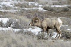 Bighorn Sheep ram Royalty Free Stock Photos