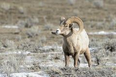 Bighorn Sheep ram Stock Photography