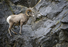 Bighorn Sheep ram. A bighorn sheep ram pauses on a mountain ledge in Canadas Kananaskis country, in the Rocky Mountains Stock Images