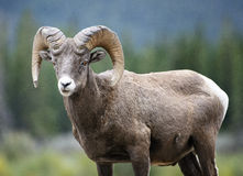 Bighorn Sheep ram. A bighorn sheep ram pauses while walking across a meadow in Banff national park, in the Rocky Mountains of Canada royalty free stock photo