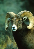 Bighorn Sheep Ram Portrait. Close up portrait of a nice bighorn sheep ram Royalty Free Stock Image