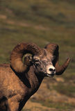 Bighorn Sheep Ram Portrait Royalty Free Stock Photo