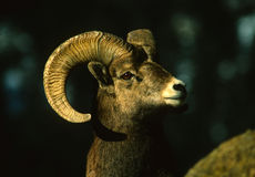 Bighorn Sheep Ram Portrait Stock Photography