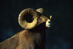 Bighorn Sheep Ram Portrait. A dramatic close up of a full curl bighorn sheep ram Stock Photography