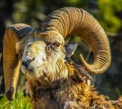 Bighorn sheep ram in portrait. Two jacks, lake, banff national park, Alberta, Canada Stock Photo
