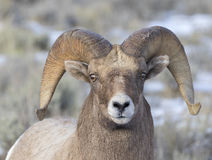 Bighorn sheep ram portrait  in the grass and sagebrush with snow Stock Images