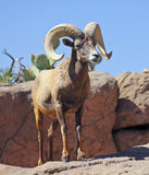 A Bighorn Sheep Ram Portrait, Ovis canadensis Stock Photo