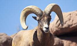 A Bighorn Sheep Ram Portrait, Ovis canadensis Stock Image