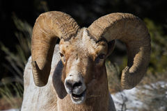 Bighorn sheep ram portrait smiling Royalty Free Stock Photography