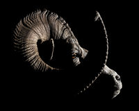 Bighorn Sheep Ram Profile Close Stock Photos