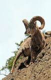 Bighorn Sheep Ram on rock face cliff in Yellowstone National Park in Wyoming Stock Photos