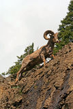 Bighorn Sheep Ram on rock face cliff in Yellowstone National Park in Wyoming Royalty Free Stock Photo